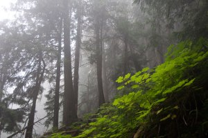Ancient-forest-trail-mist