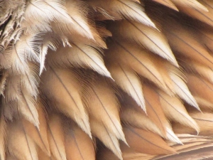 Golden_Eagle_feathers