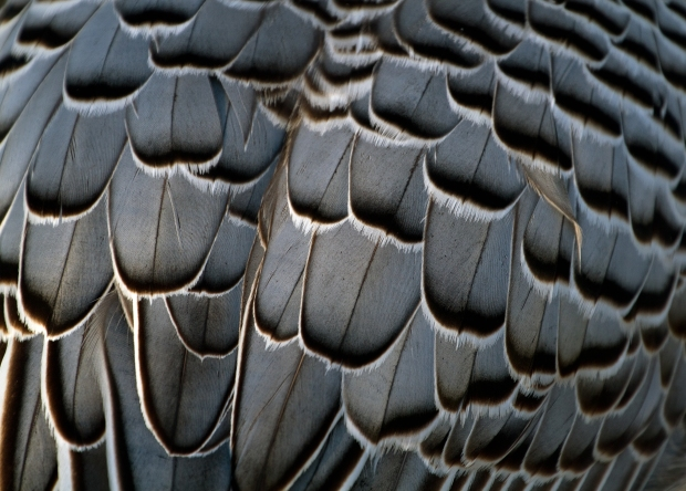 Grey_Feathers_(6353929067)